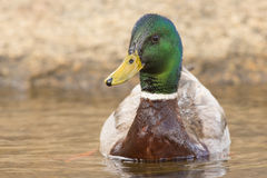 Colorful drake mallard duck. Drake mallard duck in water Stock Images