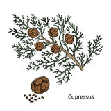 Colorful Drawing Cypress Branch Concept Stock Photos