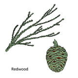 Colorful Drawing Redwood Or Sequoia Concept. With green branch and cone on white background  vector illustration Stock Photos