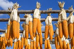 Colorful dried corn hanging on wooden rail over blue sky Royalty Free Stock Images
