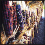 Colorful dried corn Stock Photo