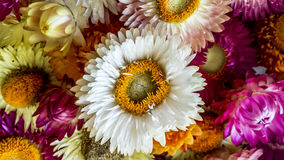 Colorful dried everlasting Straw flowers closeup. Paper daisies. Stock Images