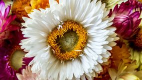 Colorful dried everlasting Straw flowers closeup. Paper daisies. Royalty Free Stock Images