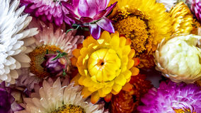 Colorful dried everlasting Straw flowers closeup. Paper daisies. Royalty Free Stock Photo