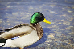 Colorful duck. Color image Royalty Free Stock Photo