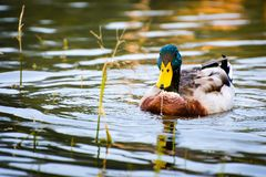 Colorful duck on the lake Stock Image