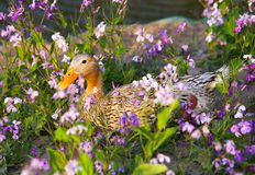Duck in flowers. A colorful duck in land of the february orchid flowers stock photo