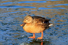 Colorful duck standing on ice in winter,. Colorful duck standing on ice on the lake in winter Royalty Free Stock Photography