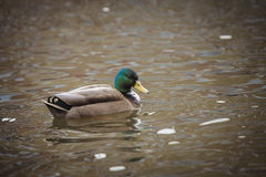 Colorful Duck!. A Colorful Duck swimming in central park, March 2017, Groningen Netherlands Royalty Free Stock Photo