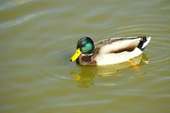 Colorful duck swimming in the lake Stock Photo