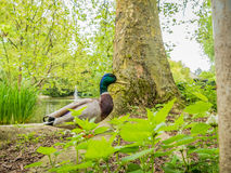 Colorful Duck Wandering in a Local Park. Pretty, colorful, duck wandering in a local park besides a tree with a lake and fountain in the background Stock Image