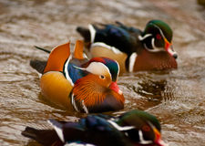 Colorful ducks. A Mandarin duck swims between two American wood ducks Stock Images