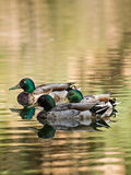 Colorful ducks on the lake Royalty Free Stock Photo