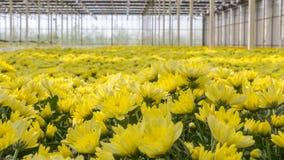 Colorful Dutch chrysanthemums Stock Photos