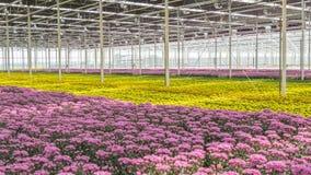 Colorful Dutch chrysanthemums Stock Image