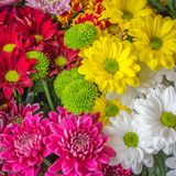 Colorful Dutch chrysanthemums Stock Photography