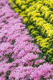 Colorful Dutch chrysanthemums Royalty Free Stock Photography