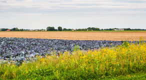 Colorful Dutch landscape in the harvesting period. Stock Photos