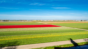Colorful Dutch tulip field Royalty Free Stock Image
