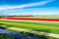 Colorful Dutch tulip field Stock Photography