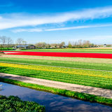 Colorful Dutch tulip field Stock Photos
