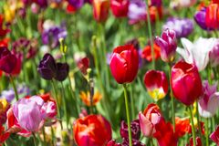 Colorful Dutch Tulips Of The Selected Sorts Royalty Free Stock Images
