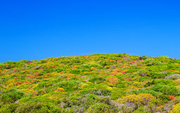 Colorful dwarf shrub of Menorca Royalty Free Stock Photos