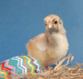 Colorful Easter chick in hay with a painted egg Stock Image