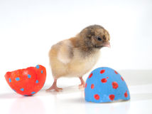 Colorful Easter chick with two egg shell halves Stock Images