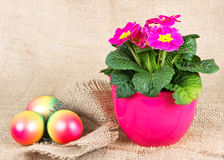 Colorful easter eggs and beautiful primula Stock Photography
