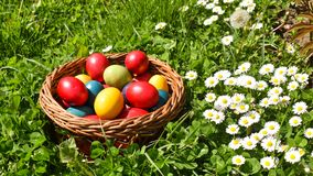 Colorful Easter eggs in the green grass with white spring flowers royalty free stock image