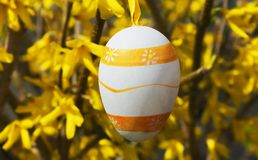 Colorful easter eggs hanging on the forsythia shrub in the garden royalty free stock photo