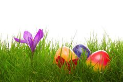 Colorful easter eggs and purple crocus. Royalty Free Stock Photography