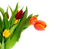 Colorful Easter tulips Royalty Free Stock Photos