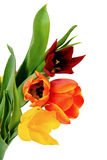 Colorful Easter tulips Stock Image