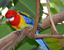 Colorful Eastern Rosella parrot on branch. Royalty Free Stock Photography