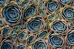 Colorful Echeveria Background Pattern. Compressed echeveria in close detail royalty free stock image