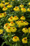 Colorful echinacea flowers in bloom Stock Image