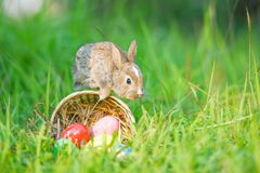 Colorful eggs on meadow and little rabbit jump on the basket nest nature sunny stock photography