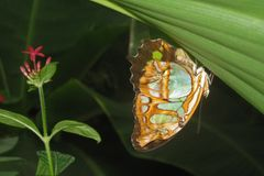 Colorful Butterfly Upside Down On Leaf Stock Photography