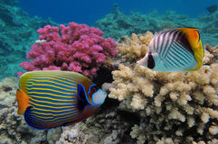A colorful Emperor angelfish. Red Sea. A colorful Emperor angelfish on a tropical reef in the Red Sea with a Threadfin butterflyfish sitting on the left side of Royalty Free Stock Photos