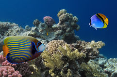 A colorful Emperor angelfish on a tropical reef in the Red Sea w. Ith a Threadfin butterflyfish sitting on the left side of it Stock Photo