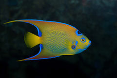 Colorful emperor fish Royalty Free Stock Photography