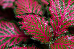 Colorful Episcia plant Stock Images