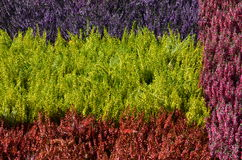 Colorful Erica plants Royalty Free Stock Images