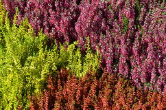 Colorful Erica plants. Colorful mixture of different Heather (Erica sp.) plants on a garden market stock photography