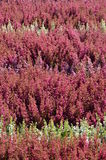 Colorful Erica plants Stock Image