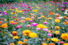 Colorful, Ethereal Field of Flowers Stock Image
