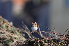 Colorful European Goldfinch Royalty Free Stock Image