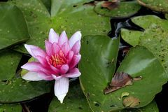 Colorful European White Waterlily flower on a pond water surface. Colorful European White Waterlily flower with green leaves on a pond water surface Royalty Free Stock Photos